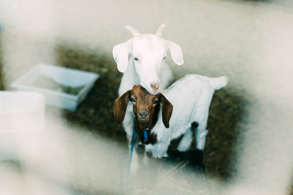 colour photo of a 4 week old goat and a 1 year old goat