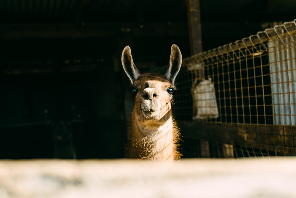 colour photo of a Llama