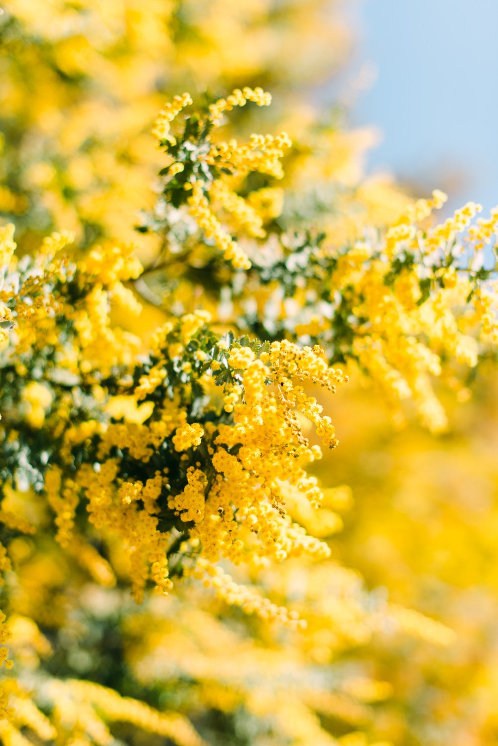Wattle Tree in the Country NSW Bush - Australian Wedding & Travel Photographer - Deb Boots
