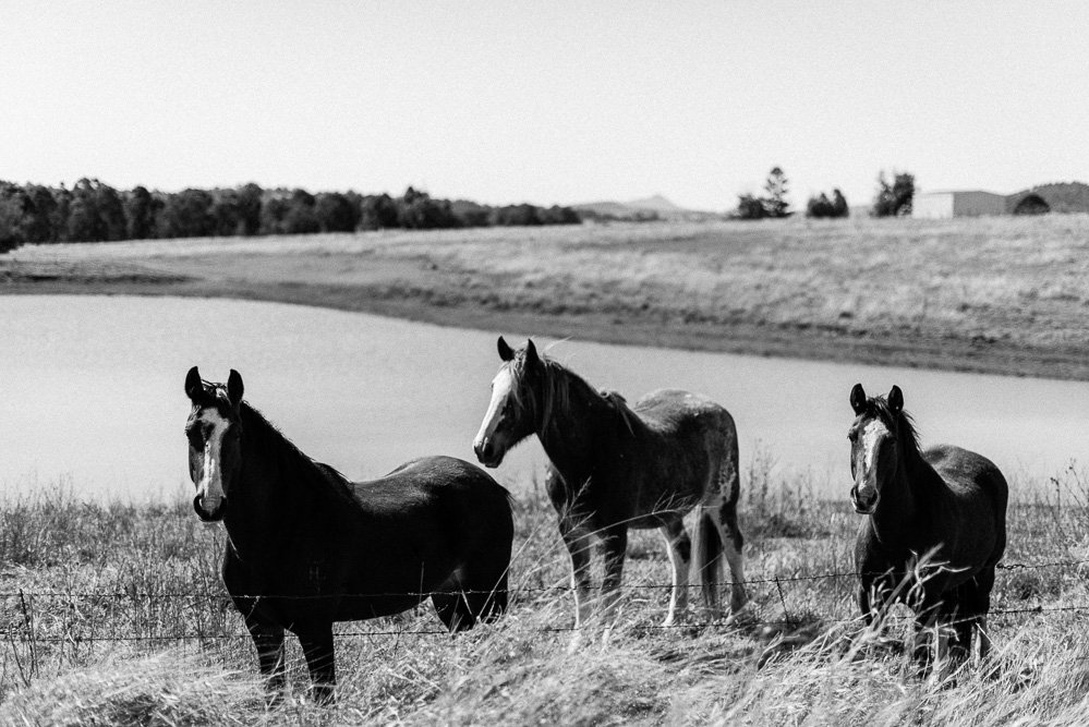 black & white photo of horses in paddock, Boonah countryside - Travel Photographer Deb Boots