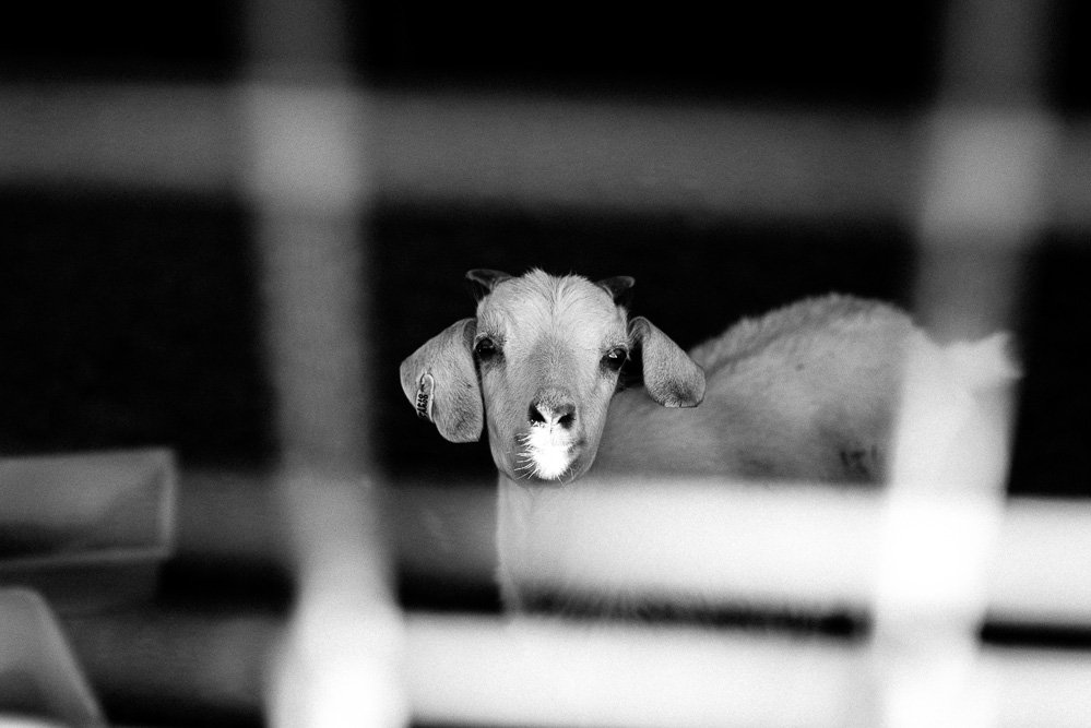 black & white photo of a one year old goat