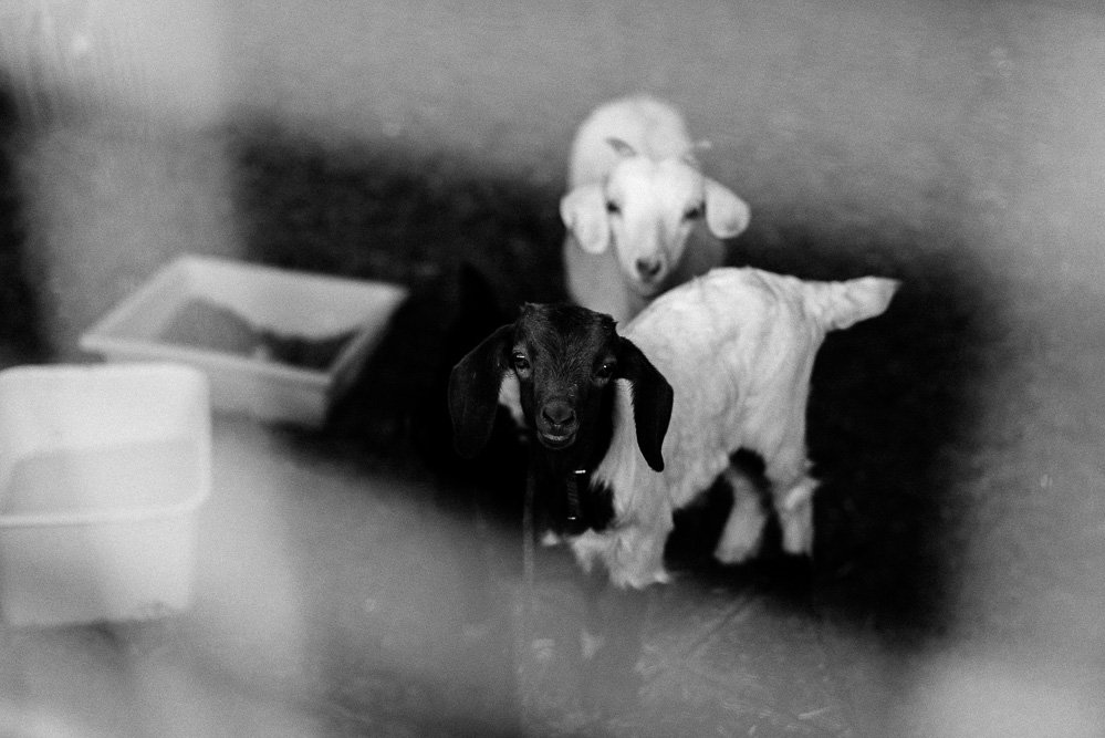 black & white photo of a 4 week old goat and a 1 year old goat