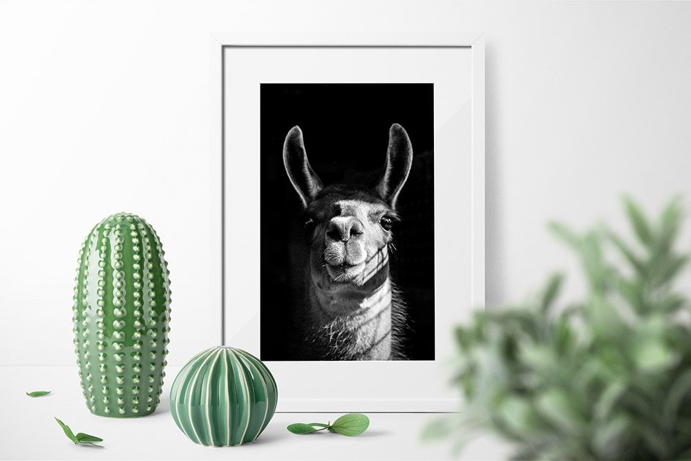 Llama Black & White Photograhpic Print - Framed Print