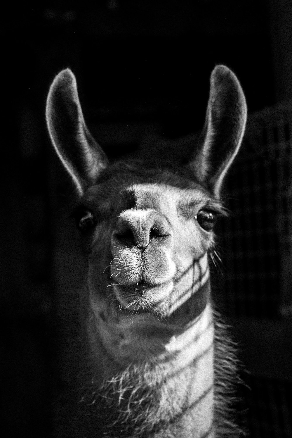 Llama Photographic Print in B&W - Australian Travel Photographer Deb Boots