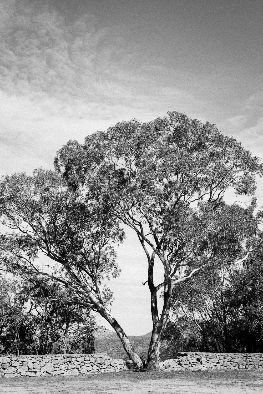 Moonbi Tree Photographic Print in B&W - Australian Travel Photographer Deb Boots